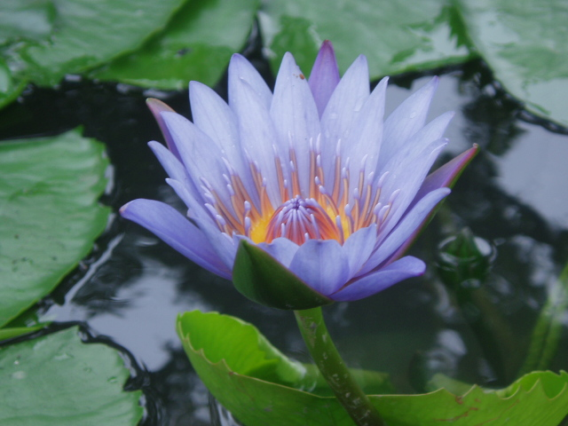 photo of lotus flower, taken in China